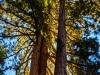 Sequoia1 (1 of 1tri LEAF flower web_DSC3422-Edit