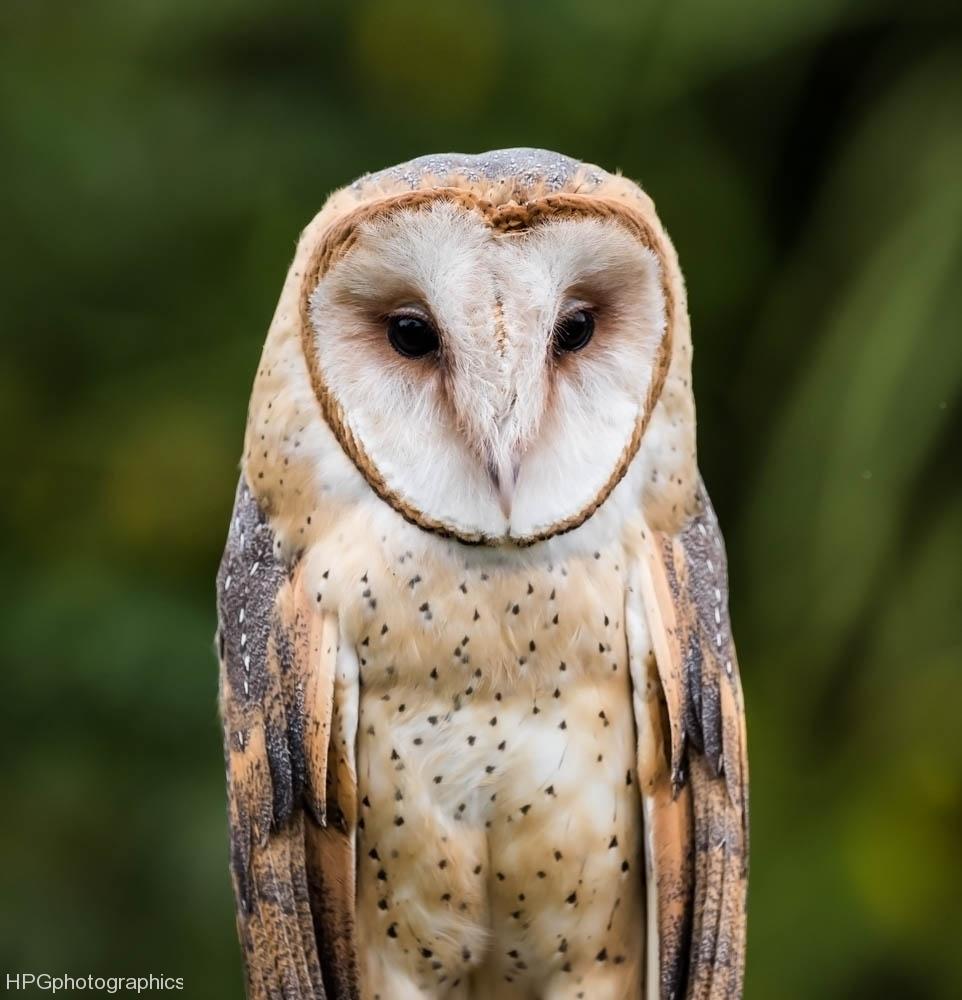 Barn owl (1 of 1Barn owl2_DSC3237