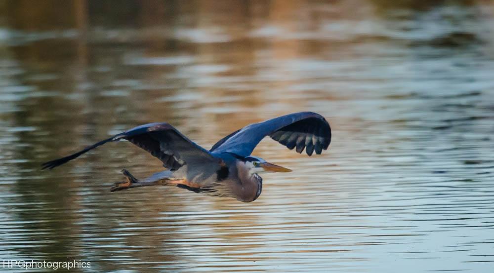 Blue Heron (1 of 1_DSC8246-Edit-Edit