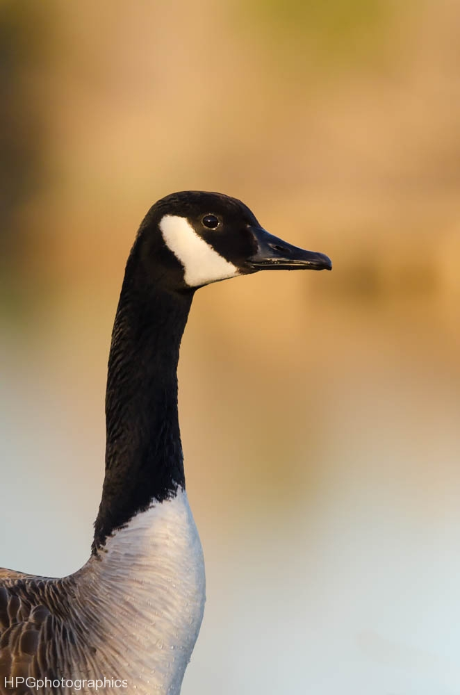 Canadian goose (1 of 1_DSC8209