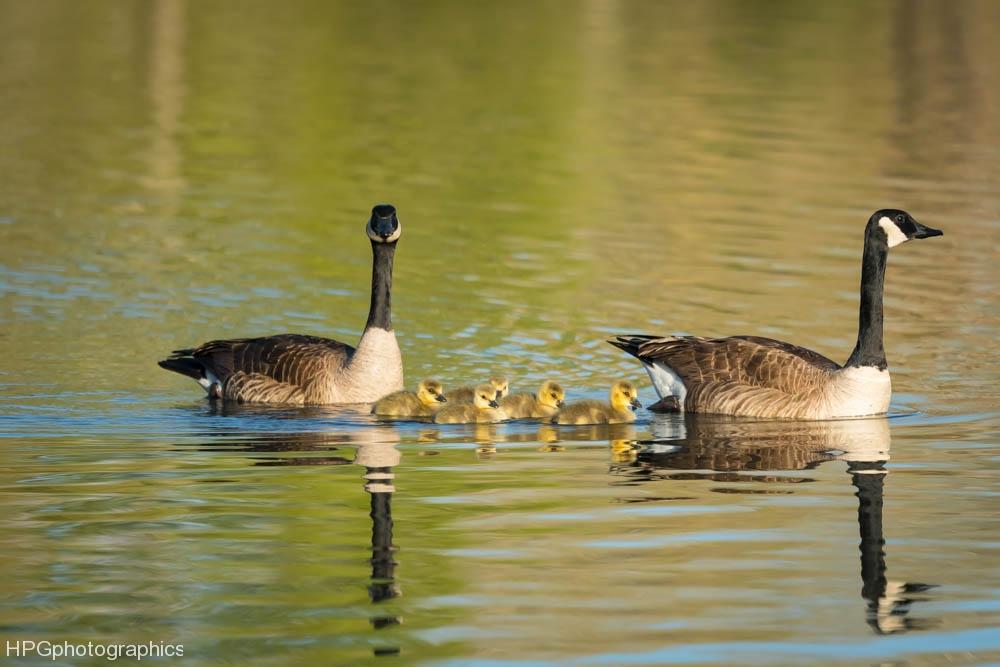 Goose family (1 of 1_DSC0119