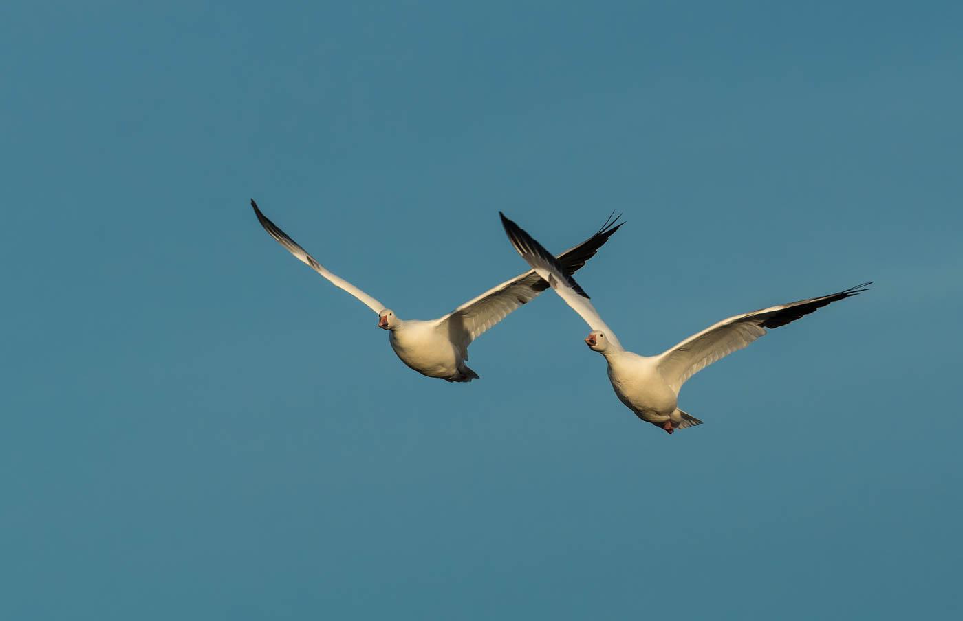 Snow geese pair (1 of 1_DSC2220-Edit
