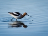Avocet (1 of 1_DSC8213