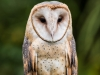 Barn owl (1 of 1Barn owl2_DSC3237