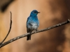 Blue Bird (1 of 1_DSC1005-Edit