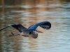 Blue Heron (1 of 1_DSC8246-Edit-Edit