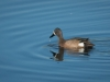 Blue Winged Teal (1 of 1_DSC0065