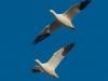 Geese23 (1 of 1_DSC1502-Edit