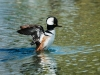 Hooded Merganser (1 of 1Hooded Merganser3_DSC2501