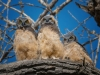 Owl tripletts (1 of 1_DSC9213-Edit-Edit-Edit-Edit