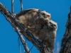 Owls2 (1 of 1_DSC8932