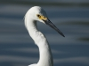 Snowy Egret3 (1 of 1_DSC7549