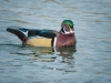 Wood Duck (1 of 1_DSC2211-Edit