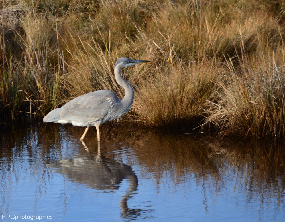 great-blue-herondsc_2613web