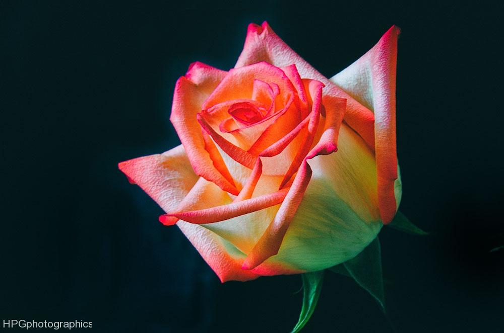 M's-rose_DSC0638-Edit-Edit-2