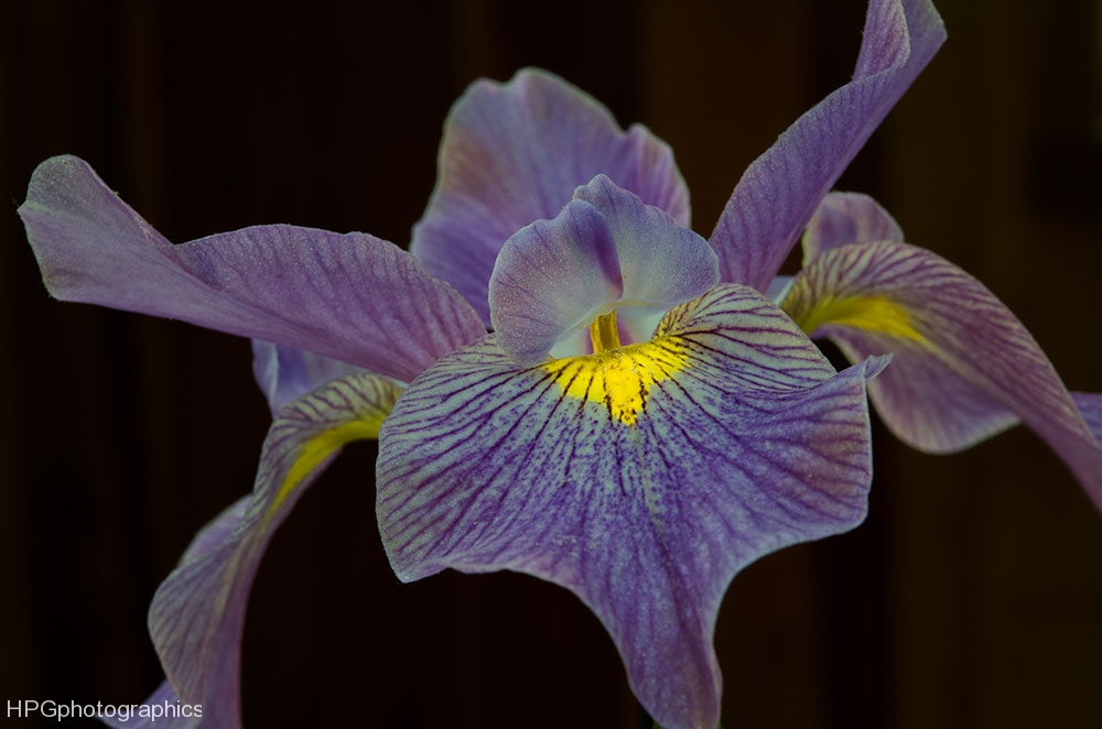 Purple-lily_DSC0575-web