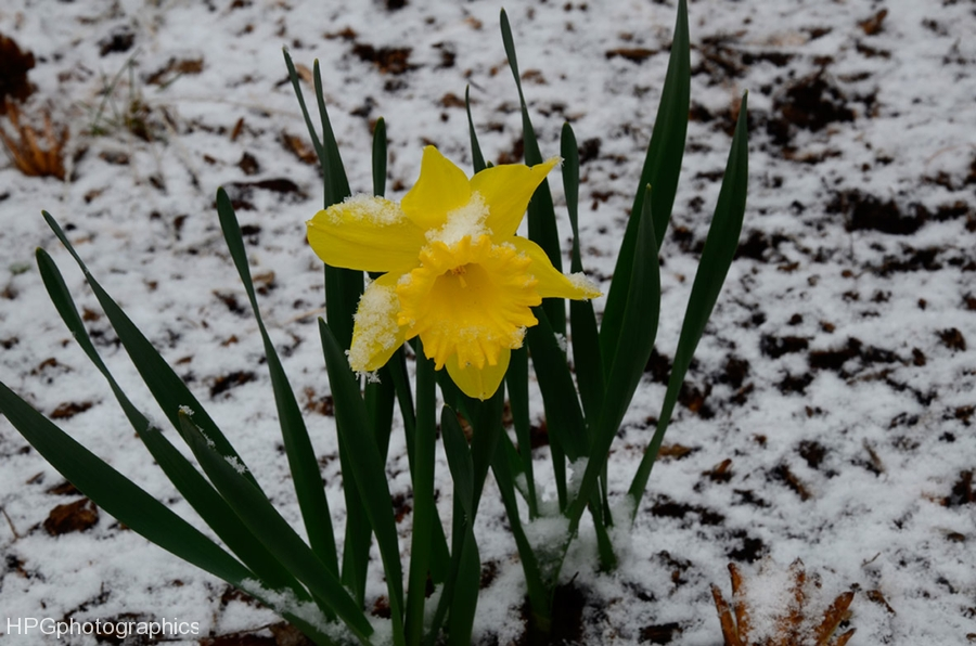 daffodildsc_4185web