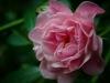 Pink-rose2_DSC0618-web