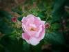 Pink-rose_DSC0602-web
