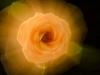 exploding-rose_dsc5605web