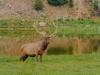 Bull-Elk-1-of-1_DSC5160-Edit-Edit