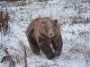 Kodiak-Bear-1-of-1DSC_9291-Edit-Edit