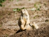 Prairie dogs (1 of 1_DSC8040-2-Edit