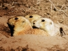 Prairie dogs2 (1 of 1_DSC8031-2-Edit-Edit-Edit