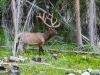 Rocky Mtn Elk (1 of 1_DSC1852
