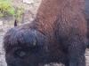 buffaloimg_1346web