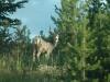 mule-deerdsc_8704web