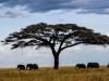 Acasia and elephants-2930