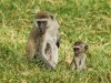 Blue faced monkeys-3875