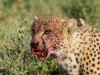 Cheetah face-4716