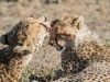 Cheetah face wash-4982