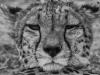 Cheetah portrait-