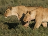 Female lions-5890