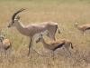 Gazelles-7438
