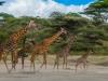 Giraffe parade-2621