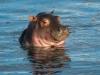 Hippos4-7200