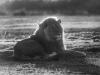 Lion b&w-