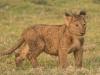 Lion cub-7707