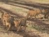 Lion cub2-7717