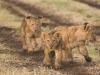 Lion cub3-7719