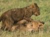 Lion cub5-7799