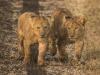 Lion cub6-7793