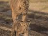 Lion cub9-7732