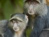 baboon pair-3842