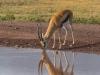 gazelle drinking2-8272
