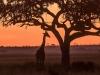 giraffe sunrise-6713